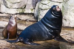 Sea lions. Big leader male sea lion with smaller female Royalty Free Stock Photography