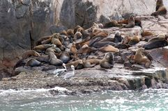 Sea Lions. A colony of seas lions group together on an outcropping of rocks near Land's End at Los Cabos, Mexico Royalty Free Stock Image