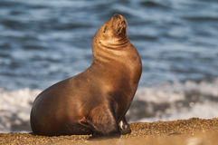 Free Sea Lions Stock Images - 85989304