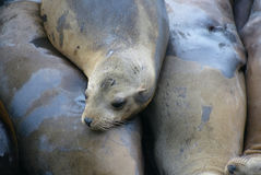 Sea lions. Closeup of sea lions in pile Stock Photos