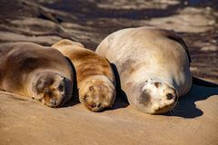 Smiling, Sleeping Sea Lions. These sea lions appear to be smiling in the warm morning sun in La Jolla, CA royalty free stock photo
