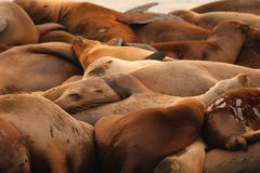 Sea Lions Asleep In A Pile. A herd of California Sea Lions asleep in a pile along the Pacific Ocean Stock Photo