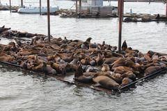 Sea Lions. At the Astoria, Oregon docks Royalty Free Stock Images