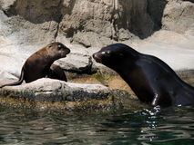 Sea lions Royalty Free Stock Images