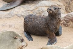 Sea Lions baby Royalty Free Stock Image