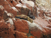 Sea lions in Ballestas Island. Stock Photo