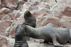 Sea lions in the Ballestas Islands, Peru Stock Photos