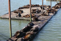 Sea-lions basking at a marina in Astoria Oregon. Royalty Free Stock Photo