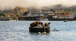 Sea lions basking on mooring or marker buoys royalty free stock photography