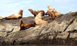 Sea Lions basking on the Belle Chain Islands, BC. Sea lions basking on one of the rock outcrops known as the Belle Chain Islets, British Columbia, Canada. The Royalty Free Stock Images