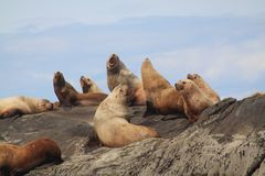Sea Lions basking on the Belle Chain Islands, BC. Sea lions basking on one of the rock outcrops known as the Belle Chain Islets, British Columbia, Canada. The Stock Photo