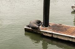 Sea Lions basking on a pier royalty free stock photo