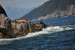 Sea Lions basking on rocks Royalty Free Stock Images