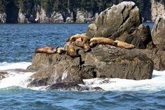 Sea Lions Basking in the Sun Royalty Free Stock Photography