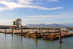 Sea Lions at Pier 39 in San Francisco CA USA. Sea Lions basking in the sun on floating dock at Pier 39 in San Francisco California USA America Royalty Free Stock Images