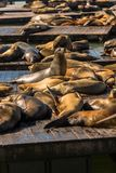 Sea lions at Pier 39 San Francisco, California Stock Image