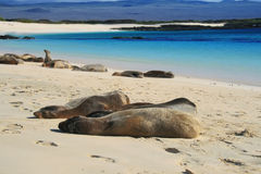 Sea Lions on a Beach Stock Photos