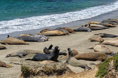 Sea lions on the beach, California Stock Photo