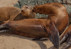 Sea Lions on the Beach in La Jolla, California Stock Images