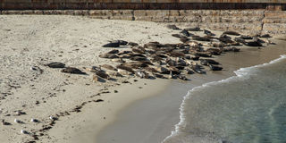 Sea Lions on Beach Royalty Free Stock Photography