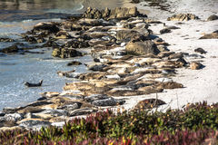Sea lions on the beach of Monterey, California. View of a lot of sea lions lying on the beach of Monterey Royalty Free Stock Image