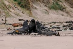 Sea lions on the beach at Otago Peninsula, South Island, New Zealand royalty free stock photo