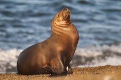 Sea Lions. On beach, Peninsula Valdes , Patagonia, Argentina stock images