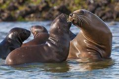 Sea Lions. On beach, Peninsula Valdes , Patagonia, Argentina stock photo