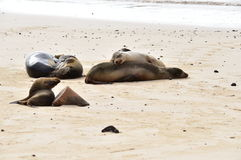 Sea lions on the Beach royalty free stock photo