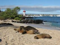 Sea lions on beach San Cristobal, Galapagos Island. Sea lions on beach Playa de Oro with lighthouse and port view, Puerto Baquerizo Moreno, San Cristobal stock photo