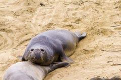 Sea lions at the beach Stock Photos