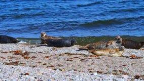 Sea lions on the beach, Scotland stock video