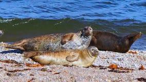 Sea lions on the beach, Scotland stock footage