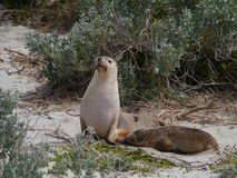Sea lions on the beach of Seal Bay Stock Image