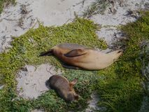 Sea lions on the beach of Seal Bay Stock Photo