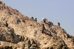 Sea Lions and Birds Royalty Free Stock Images