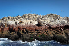 Sea lions and birds on Paracas island, Peru Stock Photos