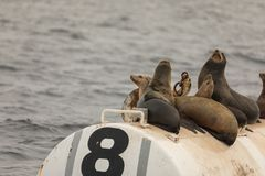 Sea lions on bouy. Close up of sea lions on buoy in the pacific ocean Stock Photos