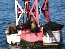 Sea Lions on Buoy. A group of sea lions sunning on a buoy outside Santa Barbara, California stock image