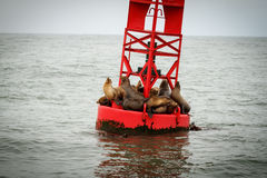 Sea lions on a buoy. Sea lions resting on a buoy Royalty Free Stock Photo