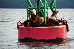 Sea Lions on a Buoy. Sea lions resting on a buoy floating in the ocean in Alaska. One sea lion is roaring with his mouth open stock photos