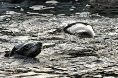 Sea Lions Stock Photography