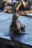 Sea Lions Stock Photos