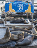 Sea Lions Royalty Free Stock Image