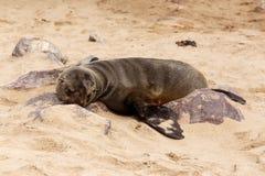 Sea lions in Cape Cross, Namibia, wildlife. Huge colony of Brown fur seal, Arctocephalus pusillus, in Cape Cross, Namibia, wide angle view, true wildlife stock images