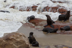Sea lions in Cape Cross, Namibia, wildlife Stock Images