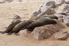Sea lions in Cape Cross, Namibia, wildlife Stock Photography