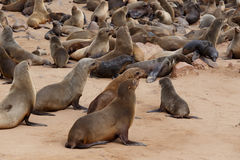 Sea lions in Cape Cross, Namibia, wildlife Stock Photos
