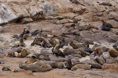 Sea lions in Cape Cross, Namibia, wildlife Royalty Free Stock Photo