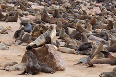 Sea lions in Cape Cross, Namibia, wildlife Stock Photo